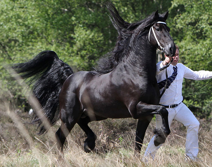 breed friesian