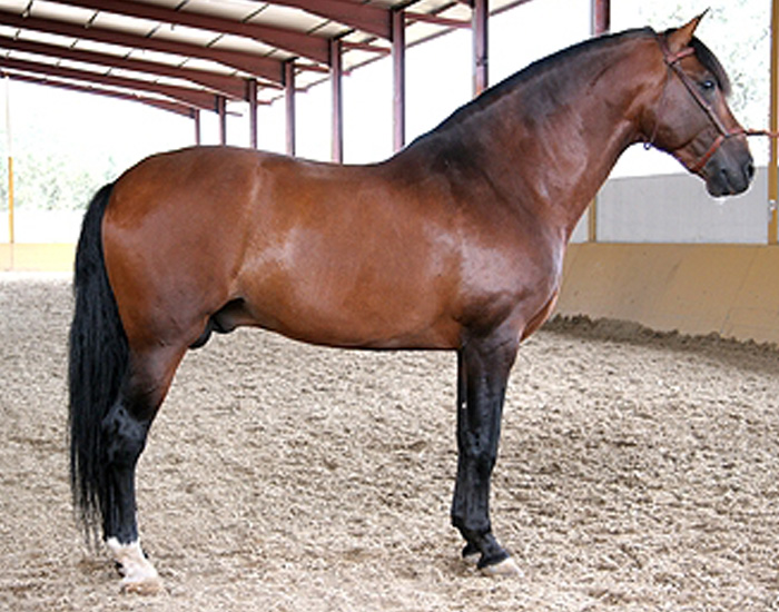 pure spanish horse breed