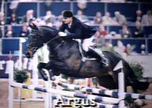 argus warmblood stallion