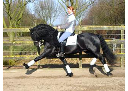fabe 348 friesian stallion