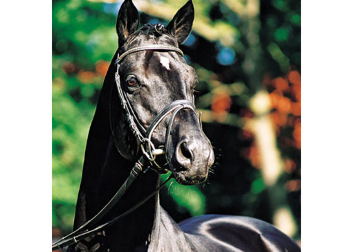 hohenstein warmblood stallion