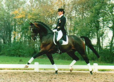 inspeckteur warmblood stallion