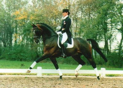 inspeckteur warmblood stallion