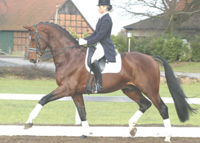 jet set d warmblood stallion