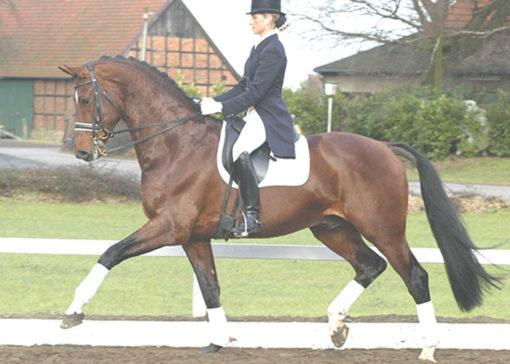 jet set d warmblood stallion