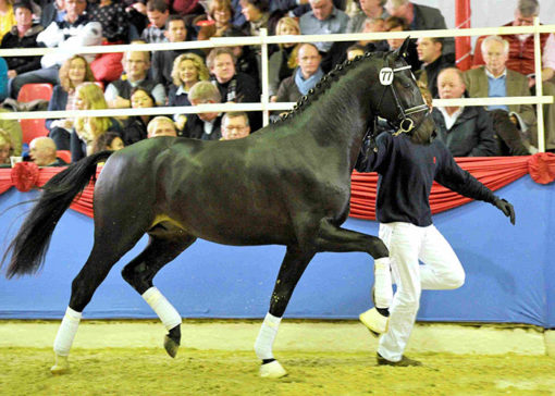 tolegro warmblood stallion