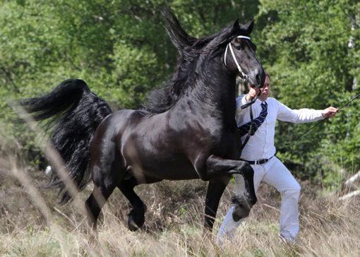 tsjalle 454 friesian stallion