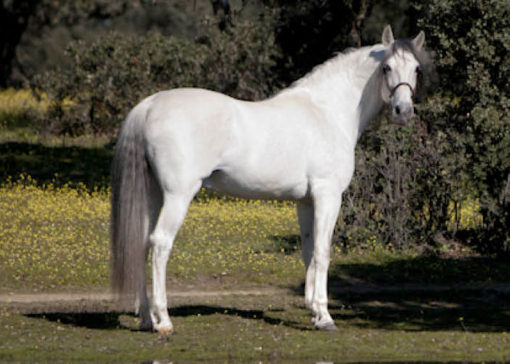 Yugo III spanish horse stallion