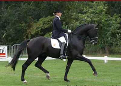 polansky warmblood stallion