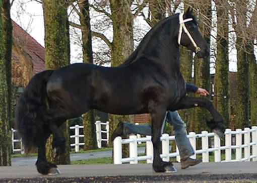 wobke 403 friesian stallion