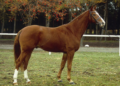locksley warmblood stallion