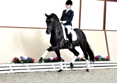 furston look warmblood stallion
