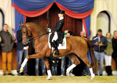 Vivaldi stallion warmblood