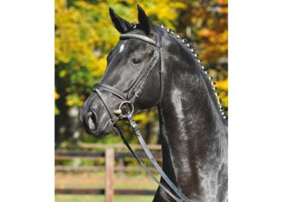 Abendtanz warmblood stallion