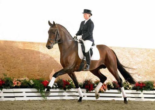 bentley warmblood stallion