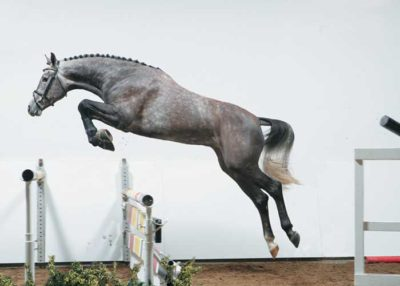 califax warmblood stallion