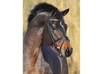 Caprimond warmblood stallion