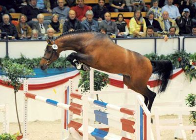 castino warmblood stallion