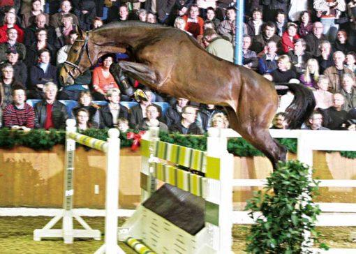 Chaccomo warmblood stallion
