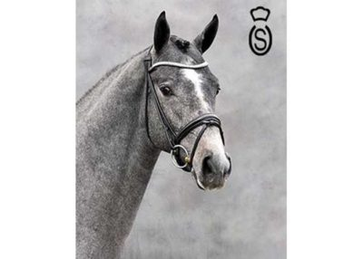 Checkter warmblood stallion