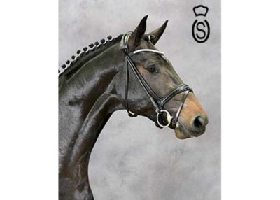 Comfort warmblood stallion