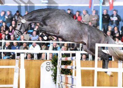 Cornetus stallion