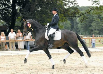 Daddy Cool warmblood stallion