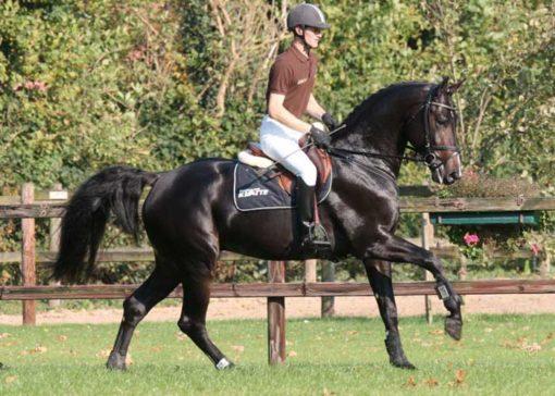 Dark Rouge warmblood stallion