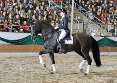 De Niro warmblood stallion