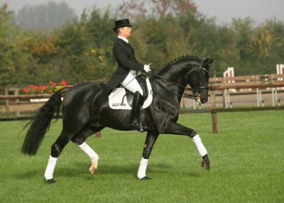 Dr Doolittle warmblood stallion