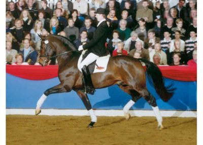 Fidertanz warmblood stallion