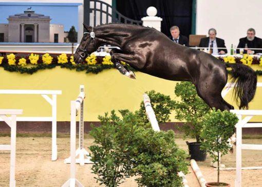 Kanndarco stallion