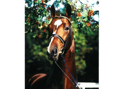 pommery warmblood stallion