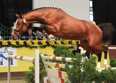 Quantos warmblood stallion