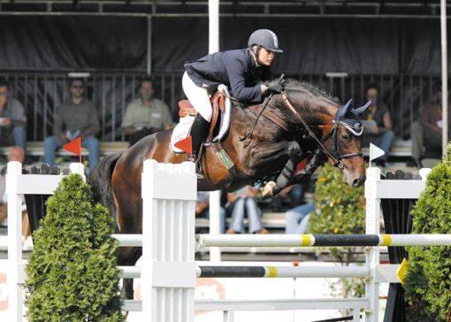 Quintender warmblood stallion