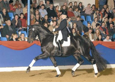 Rosario warmblood stallion