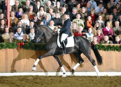 Sarkozy warmblood stallion