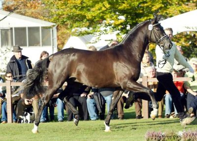 Hunters Scendix warmblood stallion