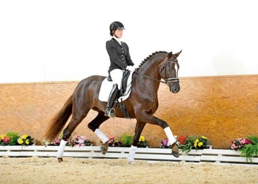 Sir Picardi warmblood stallion