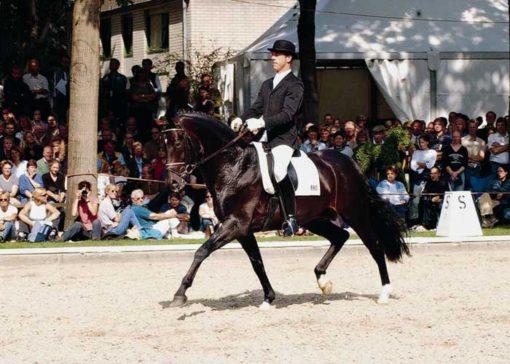 Sunny Boy warmblood stallion