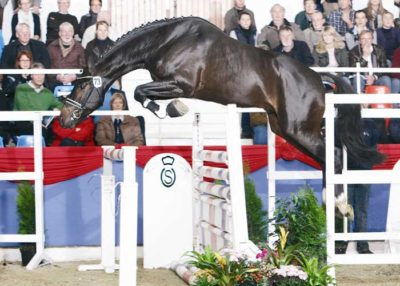 Toulouse warmblood stallion