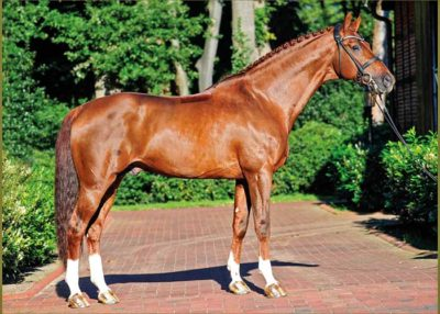 Vitalis warmblood stallion
