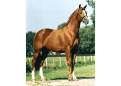 houston warmblood stallion