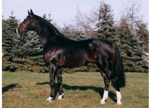 Don bosco warmblood stallion