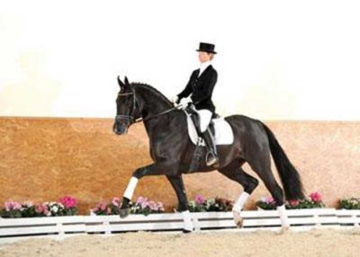 surprice warmblood stallion