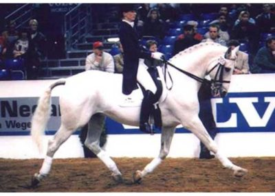 uniform warmblood stallion