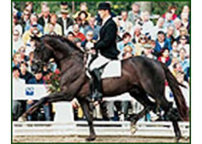 Welt Hit V1 warmblood stallion