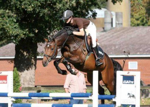 collado warmblood stallion