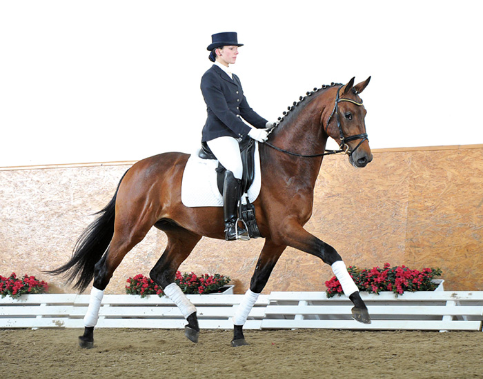 warmblood horse breed