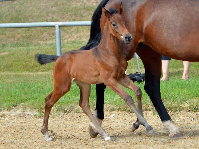 selecting a stallion